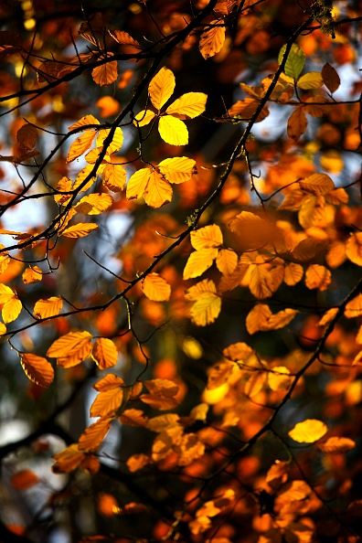 Leaf「Yellow And Gold Autumn Leaves Still On The Branch Of A Tree」:写真・画像(11)[壁紙.com]