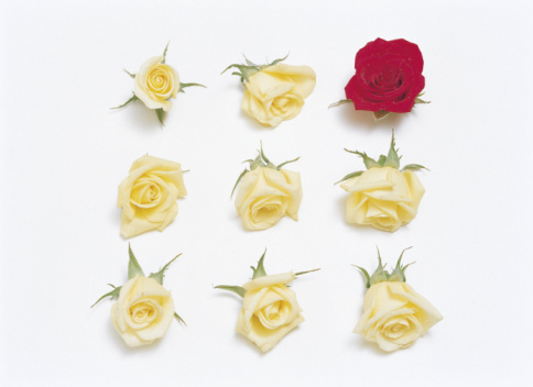 Rose - Flower「Arrangement of roses in rows」:スマホ壁紙(11)