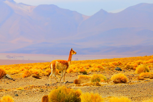 Bolivian Andes「Young Vicuna Guanaco loneliness freedom, animal wildlife in Bolivian Andes altiplano and Idyllic Atacama Desert, Volcanic landscape panorama – Potosi region, Bolivian Andes, Chile, Bolívia and Argentina border」:スマホ壁紙(2)