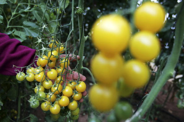 Tomato「Hybrid Tomato Seed  More Expensive Than Gold」:写真・画像(9)[壁紙.com]