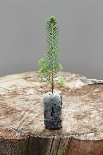 Planting「spruce seedling」:スマホ壁紙(6)