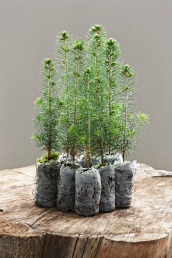 Planting「spruce seedling」:スマホ壁紙(15)