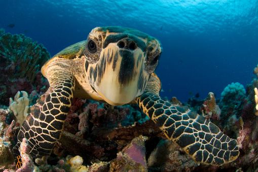 Sea Turtle「Close-up hawksbill sea turtle underwater by colorful coral」:スマホ壁紙(7)