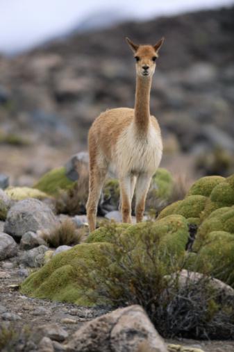 Vicuna「Vicuna (Vicugna vicugna) in Andean Altiplano, Lauca NP, Chile」:スマホ壁紙(11)