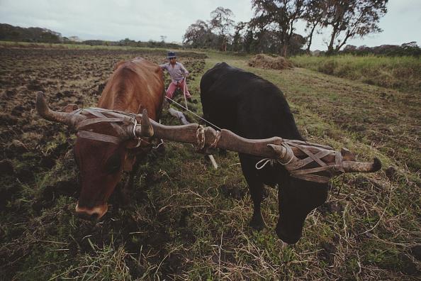 Wild Cattle「Nicaraguan Farmer」:写真・画像(5)[壁紙.com]
