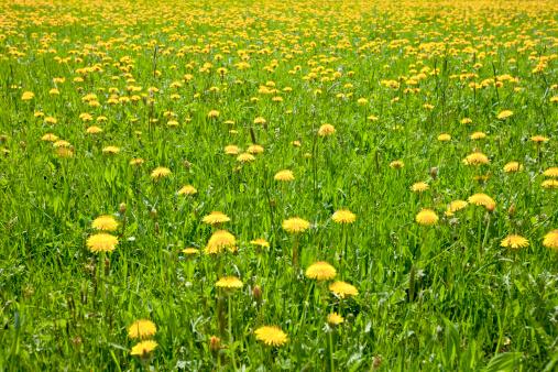 花「たんぽぽ草地」:スマホ壁紙(10)
