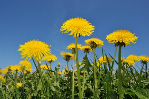 たんぽぽ「Dandelion (Taraxacum officinale) meadow.」:スマホ壁紙(0)