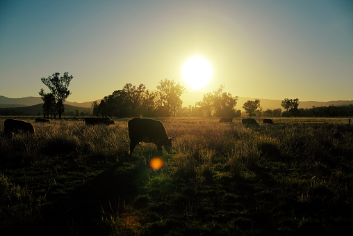 Females「Herd of beef cattle at sunrise in the field」:スマホ壁紙(3)
