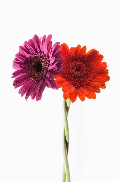 Two gerbera daisies intertwined:スマホ壁紙(壁紙.com)
