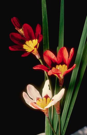 Corn Lilly「Corn Lilies」:スマホ壁紙(14)