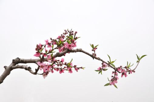 花「ピーチ」:スマホ壁紙(13)
