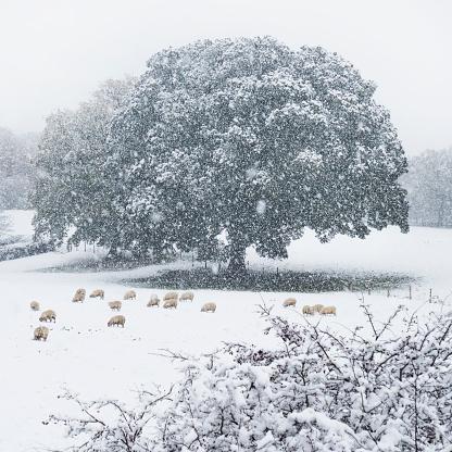 雪が降る「Sheep forage in the snow in a winter landscape」:スマホ壁紙(11)