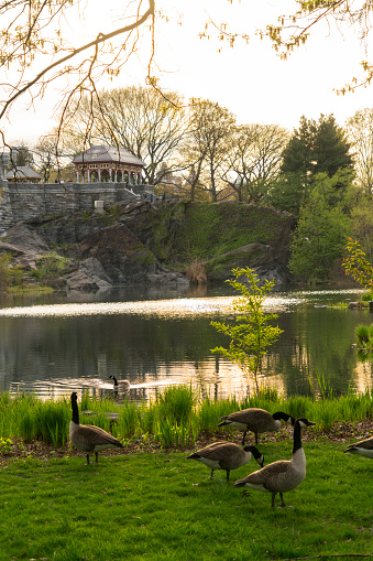 Birds「Wild gooses stay at Turtle Pond in dusk at Central Park New York in the spring.」:スマホ壁紙(0)