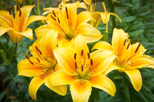 Pistil「Yellow Day Lily Cluster」:スマホ壁紙(12)