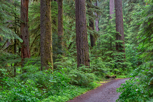 ウィラメット国有林「Trail through lush forest, Opal Creek Scenic Recreation Area in Willamette National Forest, Oregon, USA」:スマホ壁紙(4)