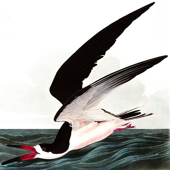 Beak「Black Skimmer Or Shearwater」:写真・画像(18)[壁紙.com]
