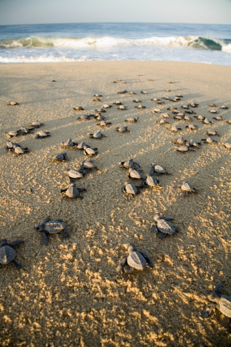 "Capsizing「""Mexico, Baja, olive ridley turtle hatchlings on beach""」:スマホ壁紙(15)"
