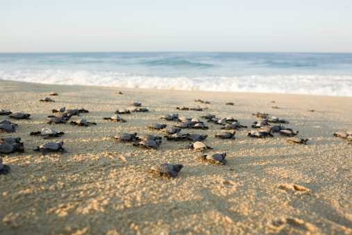 "Capsizing「""Mexico, Baja, olive ridley turtle hatchlings on beach""」:スマホ壁紙(3)"