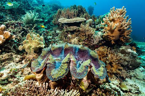 Shallow「Giant ClamTridacna gigas in Beautiful Coral Garden, Raja Ampat, Indonesia」:スマホ壁紙(10)