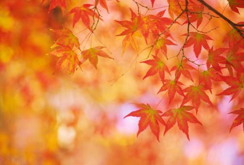 Japanese Maple「orange autumn leaves」:スマホ壁紙(17)