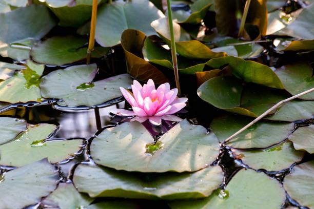 Water lily in pond:スマホ壁紙(壁紙.com)