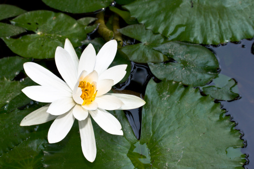 Water Lily「Water lily in pond」:スマホ壁紙(7)