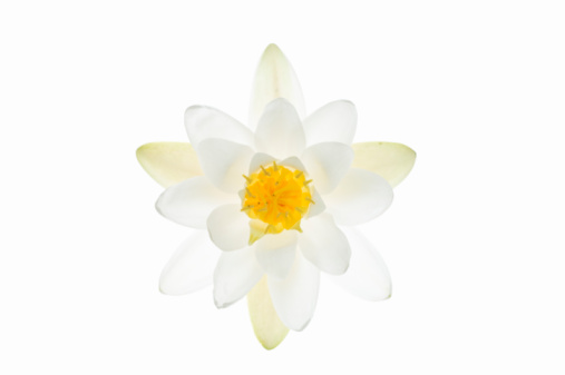 Water Lily「Water Lily flower against white background 」:スマホ壁紙(18)