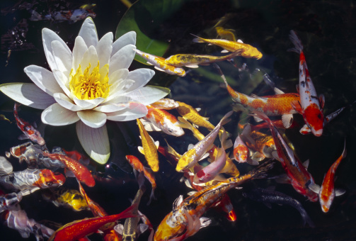 Water Lily「Water Lily flower with koi fish swinning around it」:スマホ壁紙(17)