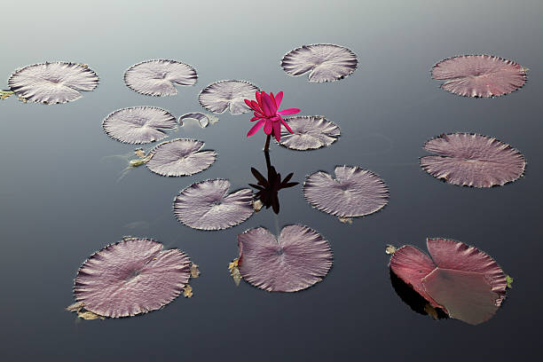 Water Lily and Pads:スマホ壁紙(壁紙.com)