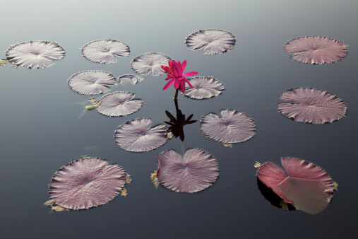 Water Lily「Water Lily and Pads」:スマホ壁紙(4)