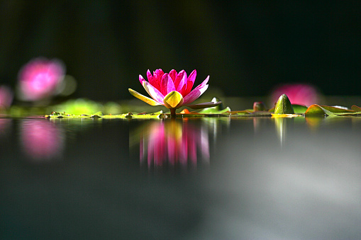 Atlantic Islands「Water Lily Flower And Its Reflection In La Orotava Botanical Garden, Spain」:スマホ壁紙(1)