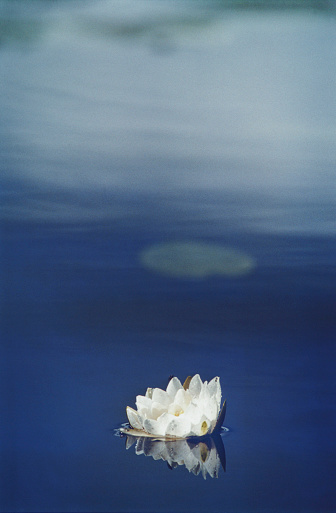 Water Lily「Water Lily In Lake」:スマホ壁紙(18)