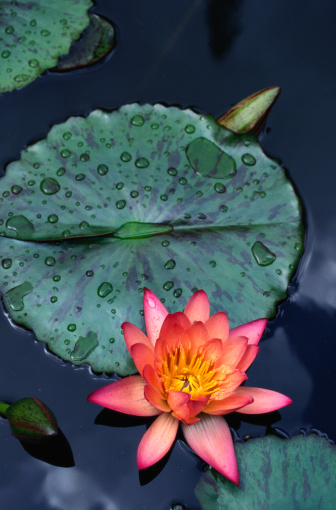 Water Lily「Water lily (Nymphaea sp.) and lily pads, close-up, Hawaii, USA」:スマホ壁紙(9)