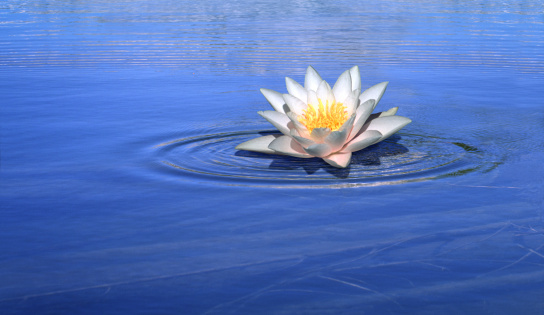 Water Lily「Water lily flower floating on blue water」:スマホ壁紙(14)