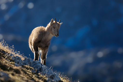 Nanny Goat「Young Alpine Ibex in the morning Sun, Alps」:スマホ壁紙(4)
