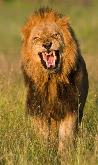 Furious「Male lion roaring, Greater Kruger National Park, South Africa」:スマホ壁紙(13)
