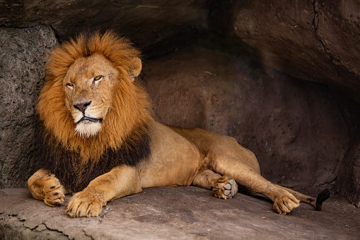 Big Cat「male lion resting in his cave」:スマホ壁紙(12)