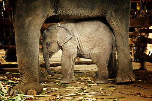 Sheltering「Baby elephant sheltered under mother」:スマホ壁紙(15)