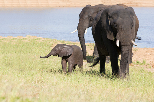 Elephant「Baby elephant attempting to drink from a mother at a waterhole - Kruger National Park South Africa」:スマホ壁紙(10)