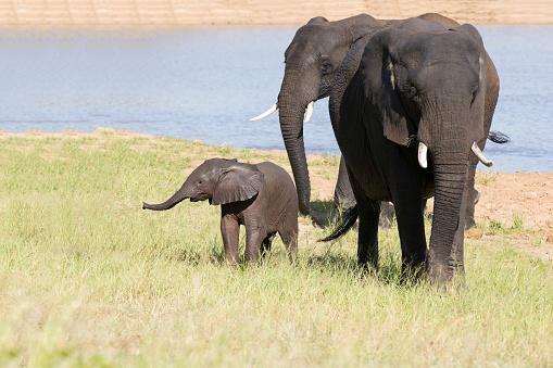 象「Baby elephant attempting to drink from a mother at a waterhole - Kruger National Park South Africa」:スマホ壁紙(0)