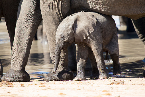 Elephant「Baby elephant attempting to drink from a mother at a waterhole - Kruger National Park South Africa」:スマホ壁紙(9)