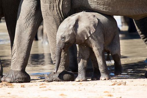 象「Baby elephant attempting to drink from a mother at a waterhole - Kruger National Park South Africa」:スマホ壁紙(2)