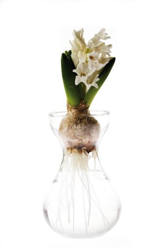 Crocus「White Hyacinthus in vase of flowers」:スマホ壁紙(2)