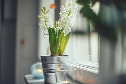 Hyacinth「White hyacinth」:スマホ壁紙(19)