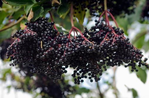 October「Elderflower (Sambucus nigra) with ripe berries, October」:スマホ壁紙(12)