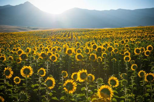 ひまわり「Summer sunrise over sunflower field」:スマホ壁紙(9)