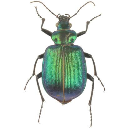 Specimen Holder「Green Jewel Beetle」:スマホ壁紙(0)