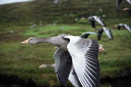 Outer Hebrides「Greylag Geese (Anser anser) in flight」:スマホ壁紙(7)
