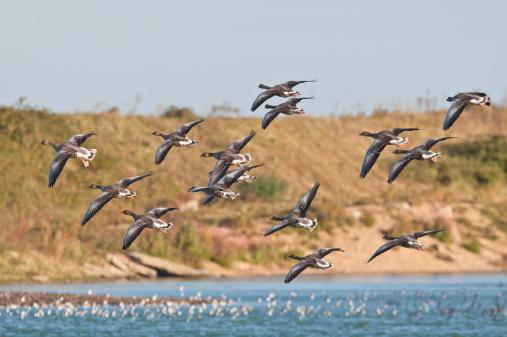 Flock Of Birds「Greylag Geese in flight at high tide roost Norfolk」:スマホ壁紙(3)