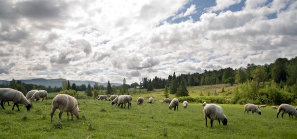 Eastern Townships「Sheeps feasting」:スマホ壁紙(5)